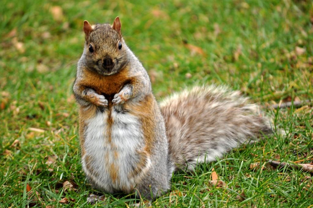 Americké veveričky
