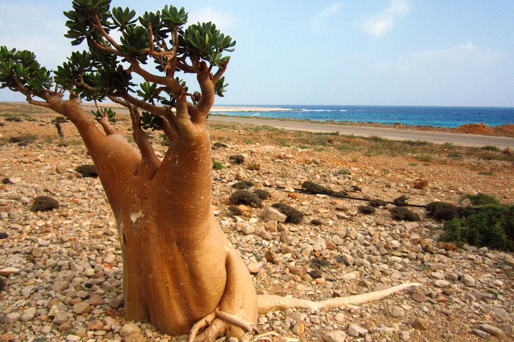 mimozemský strom na ostrove Socotra