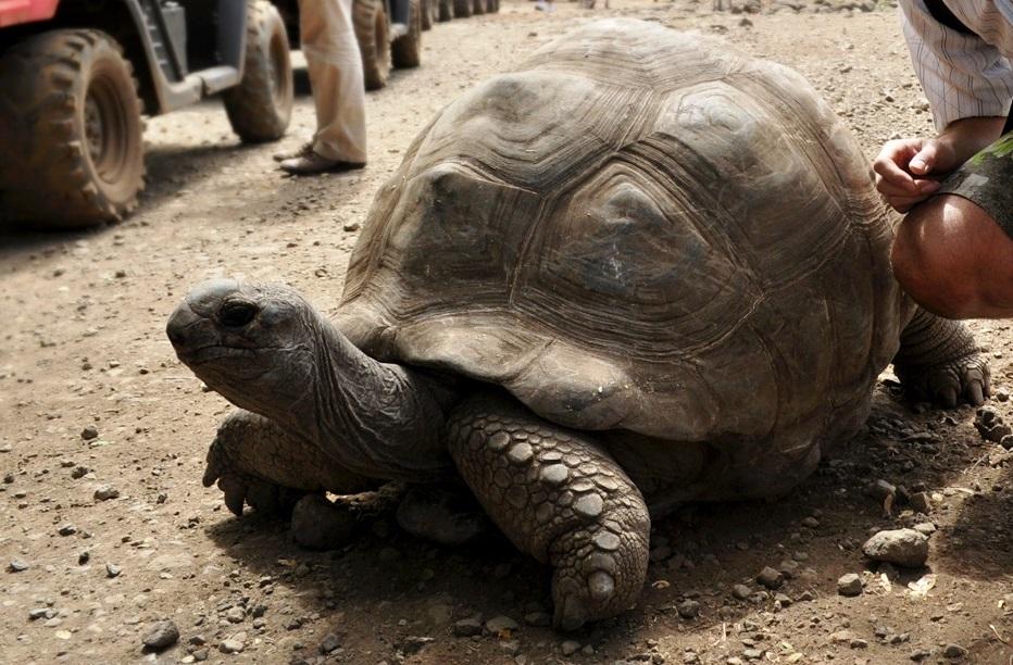 stará korytnačka na safari