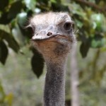 pštros na safari - Maurícius