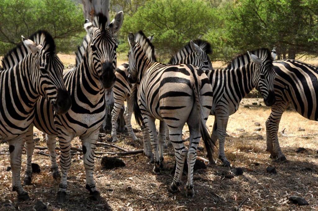 safari zebry