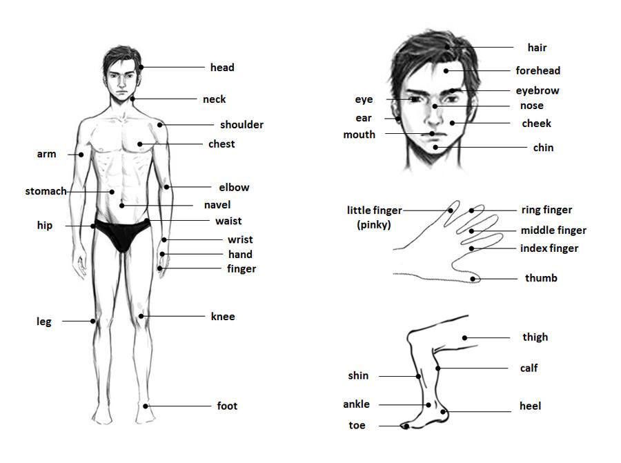 časti tela po anglicky