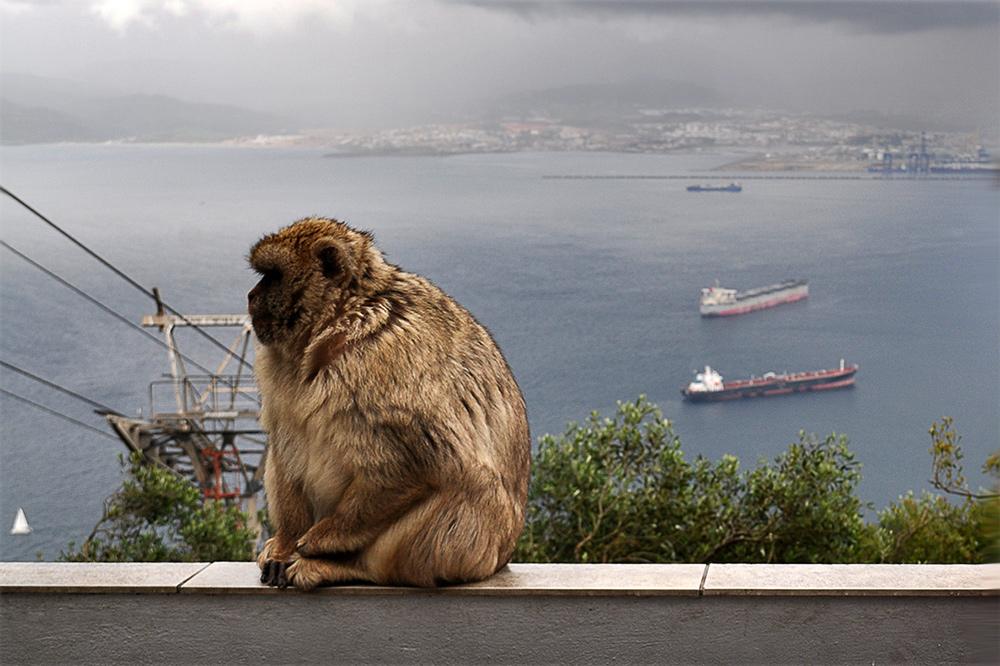 Opice na Gibraltari