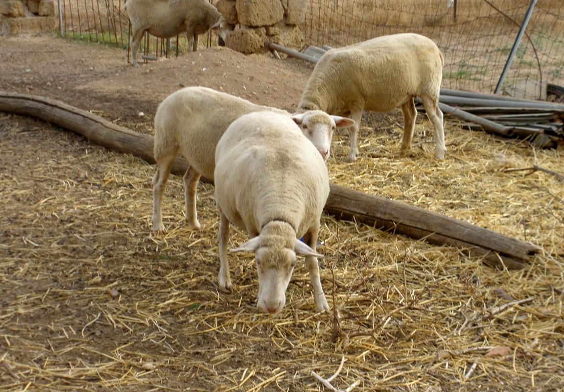susedove ovečky Alghero
