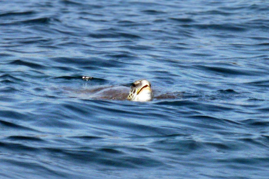 Potápanie za korytnačkami