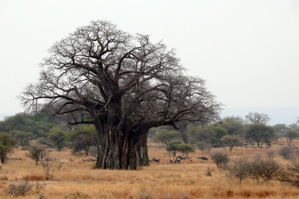 baobab, Africa