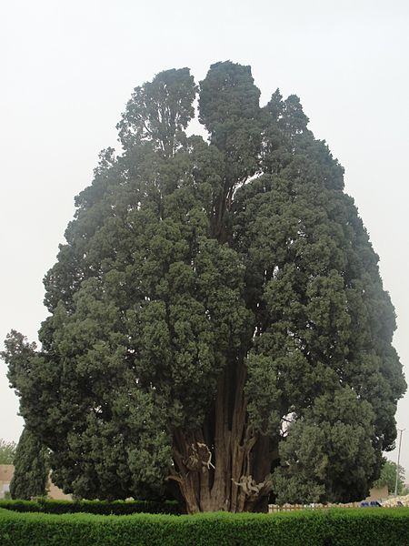 Cypress_of_Abarqu