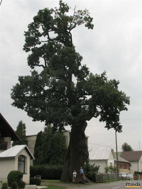 dub v Dubinnom