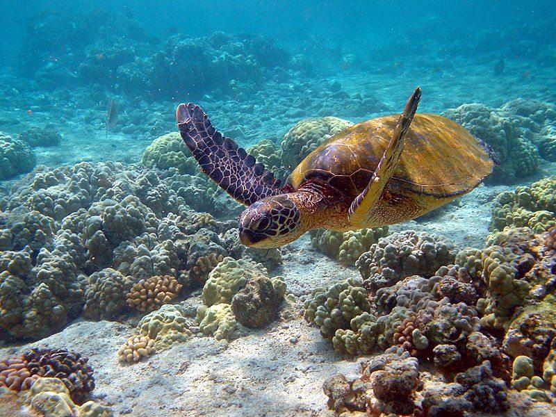 Potápanie - korytnačka