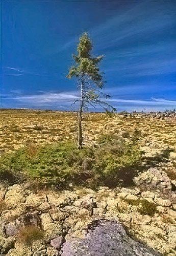 najstarší strom, smrek, Švédsko