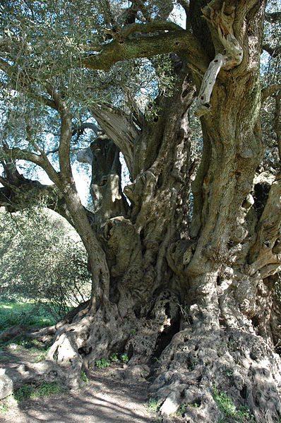 olivovnik na Sardínii