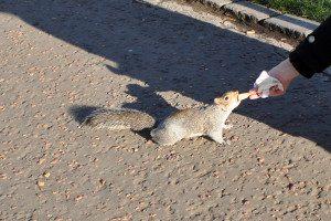 Edinburgh - veverička