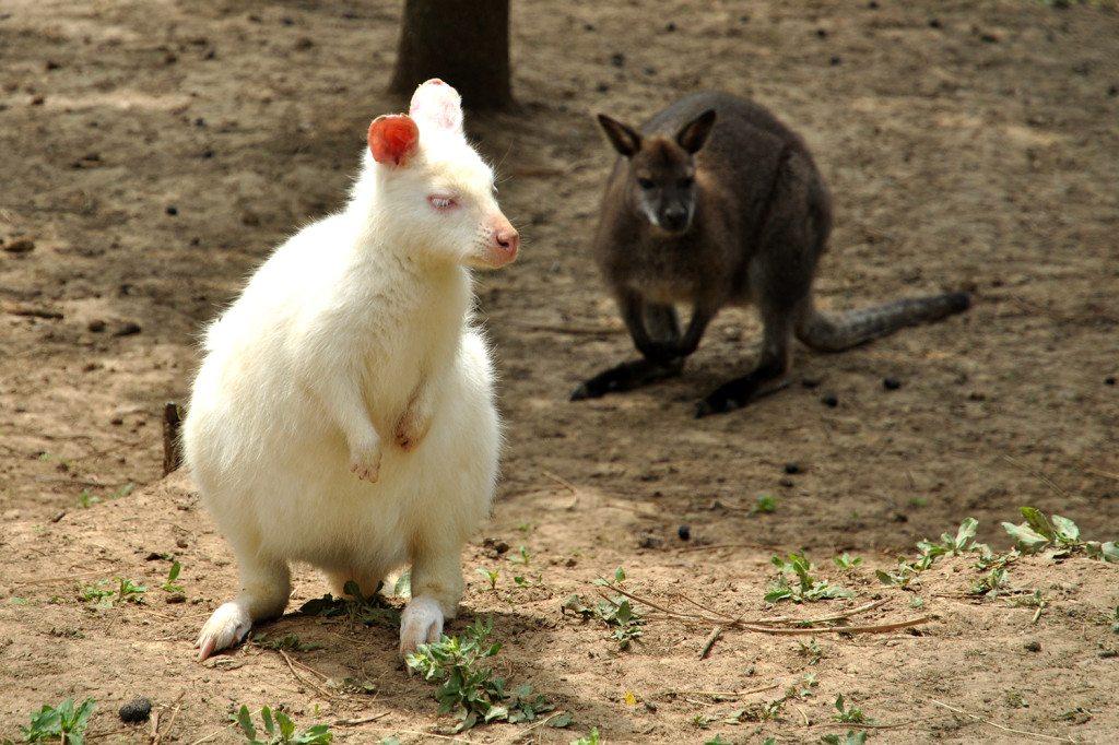 Austrálske klokany na Slovensku
