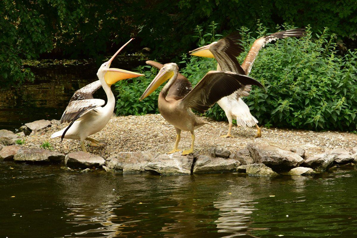 pelikány