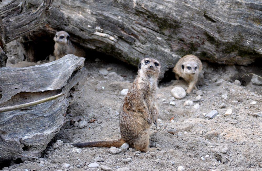 zvedavé surikaty
