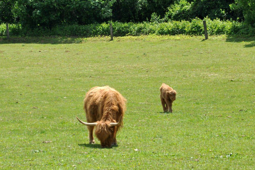 škótsky dobytok - highland cattle