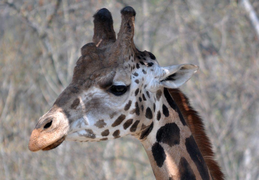 žirafa v ZOO Bratislava