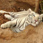nebezpečné zvieratá - mačkovité šelmy