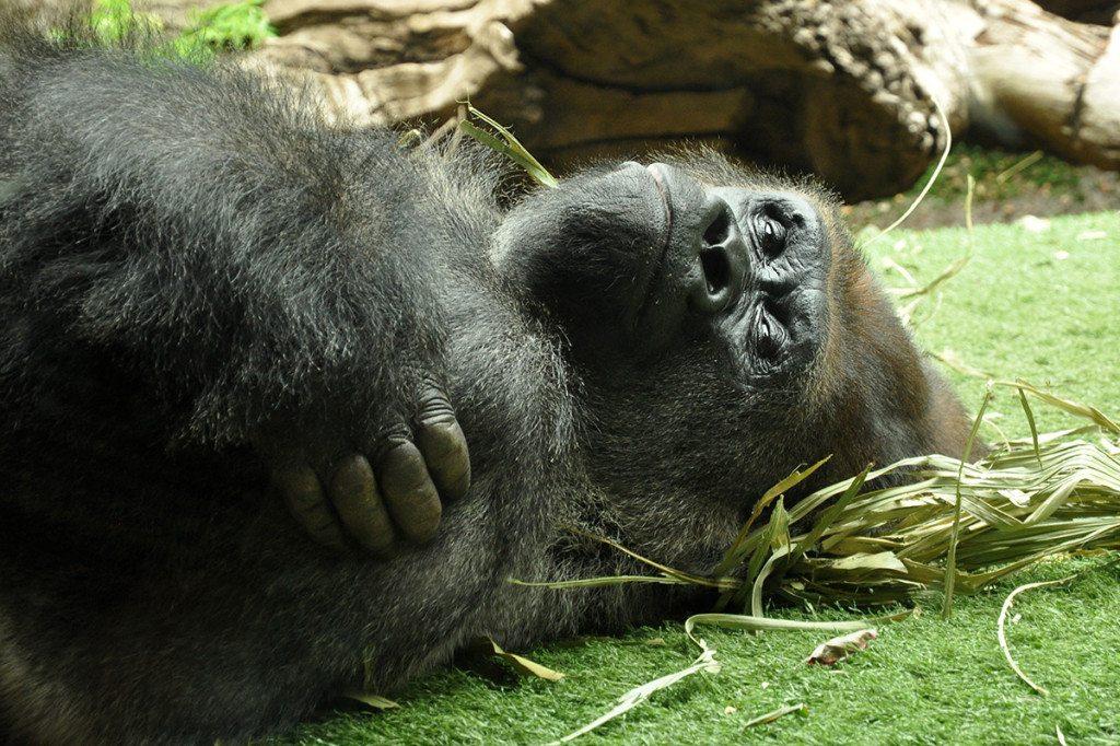 Gorila Loro Park