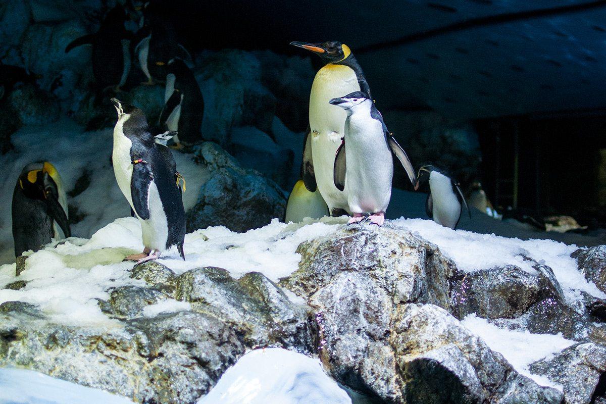 tučniaky