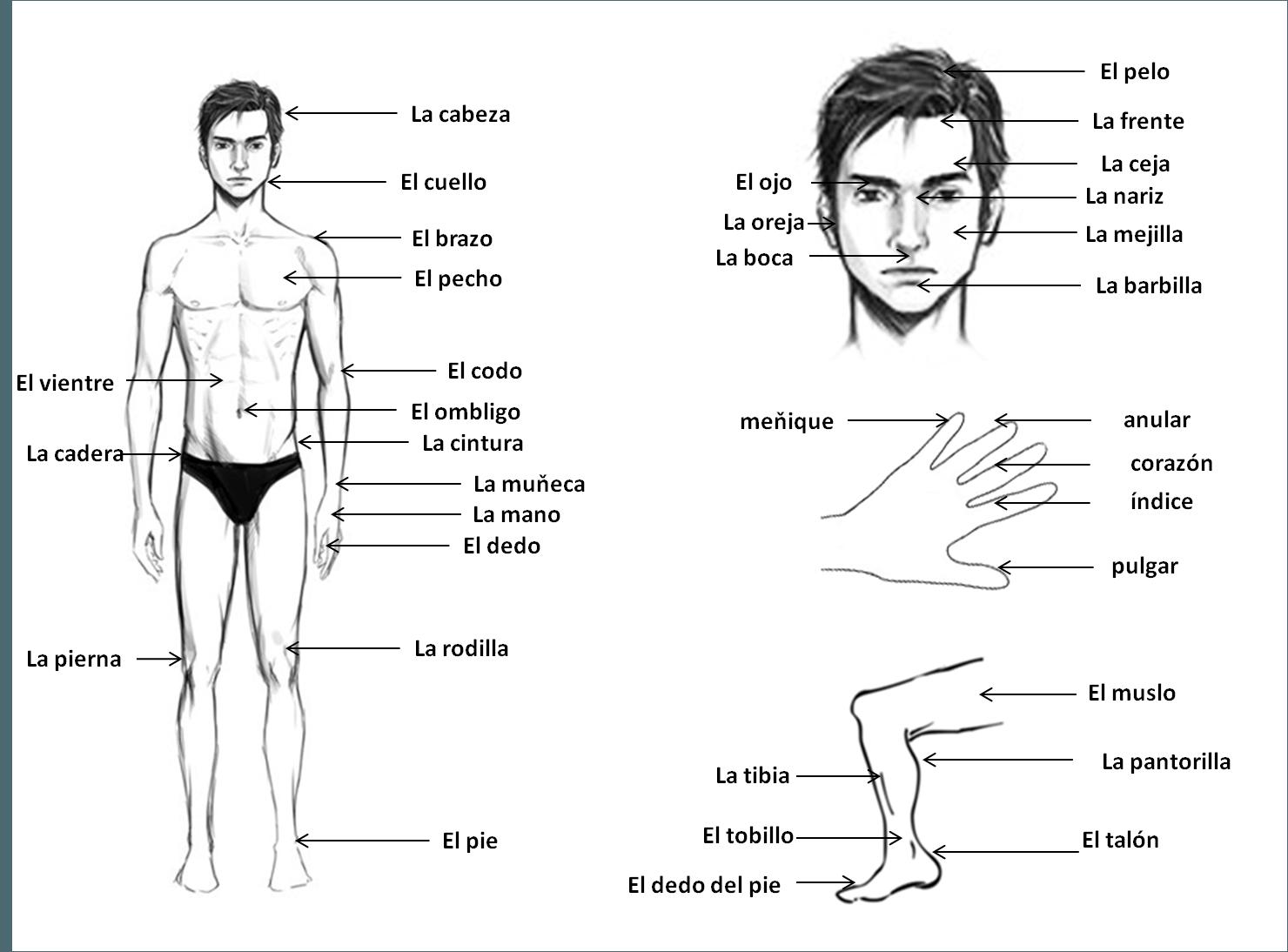 časti tela po španielsky