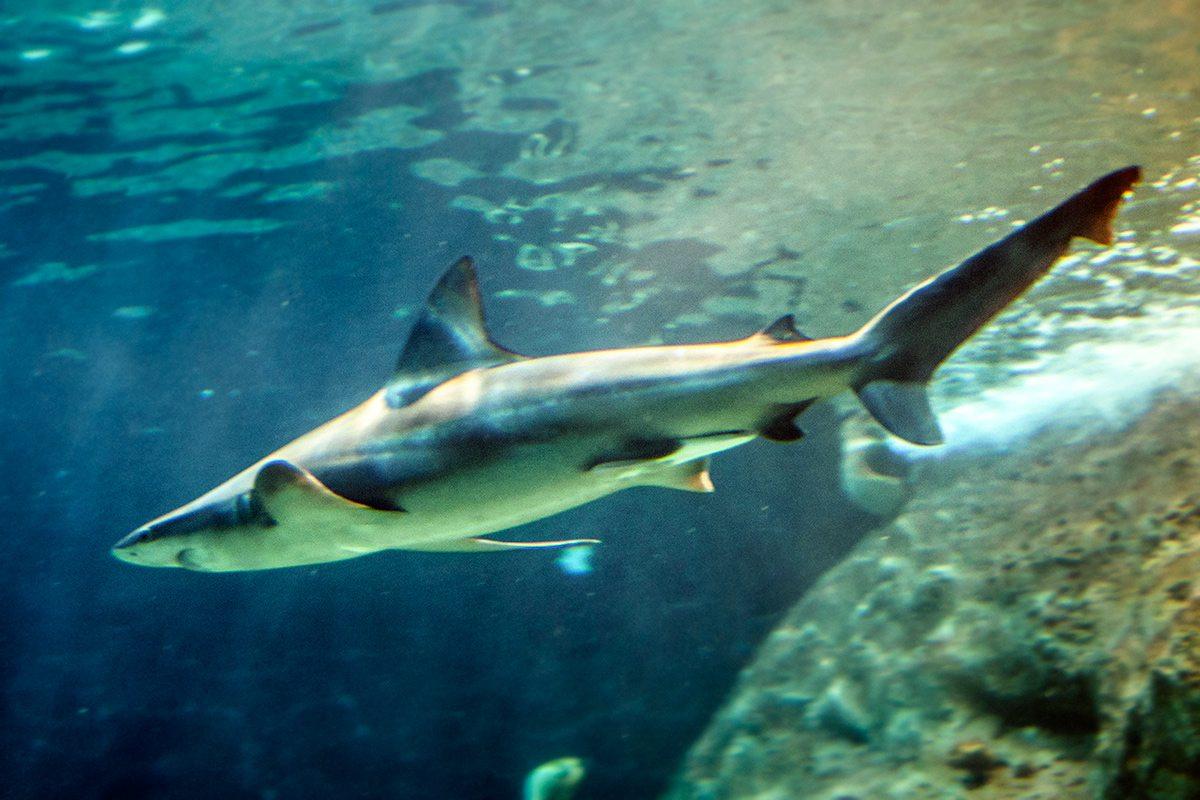 najnebezpečnejšie zvieratá - žralok