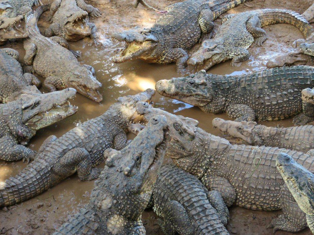 Kuba - aligátori