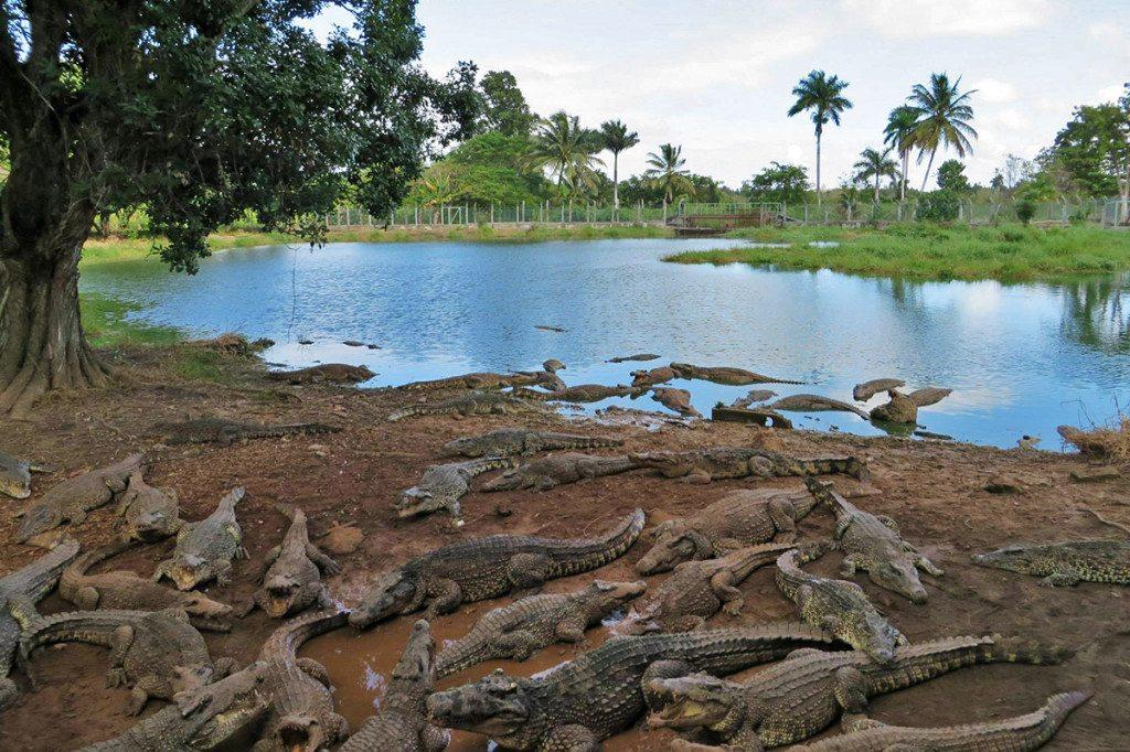 Krokodília farma - Kuba