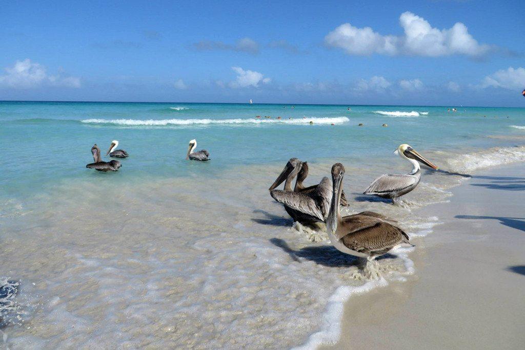 Kuba - pelikány na Varadero