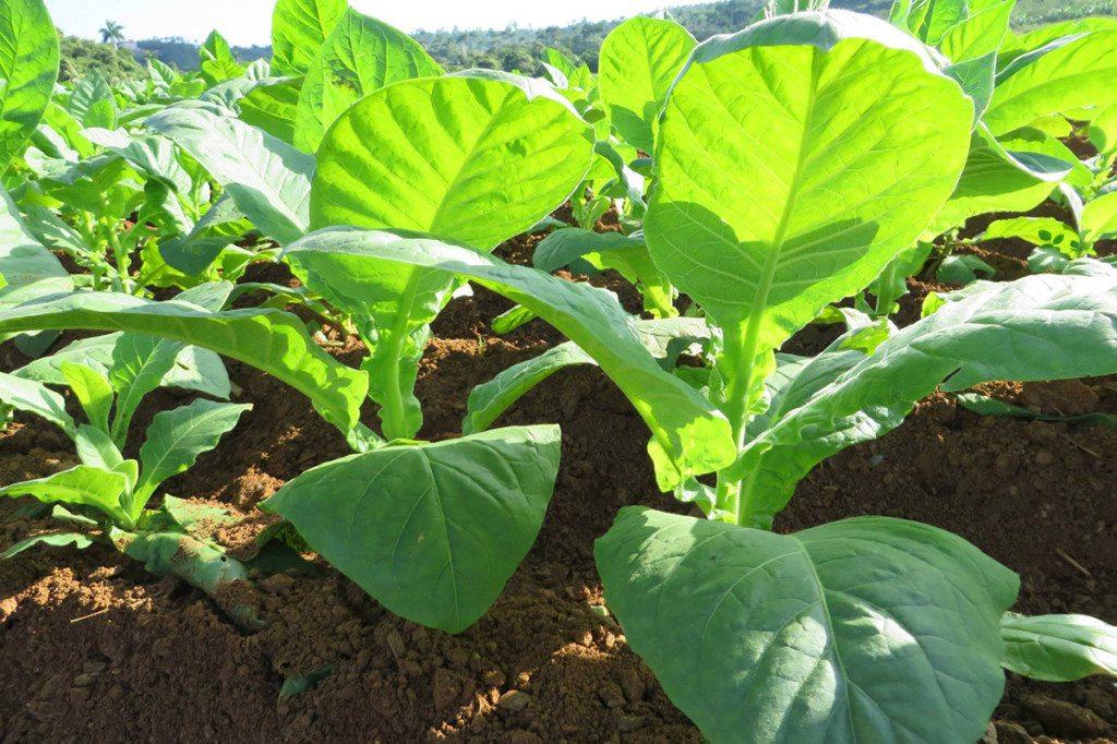 pestovanie tabaku, Kuba