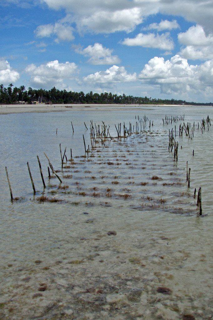 pestovanie rias v mori