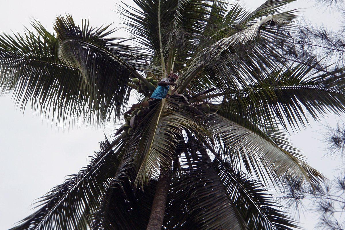 oberanie kokosov z palmy