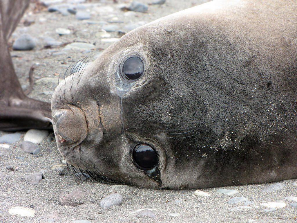 smutný tuleň