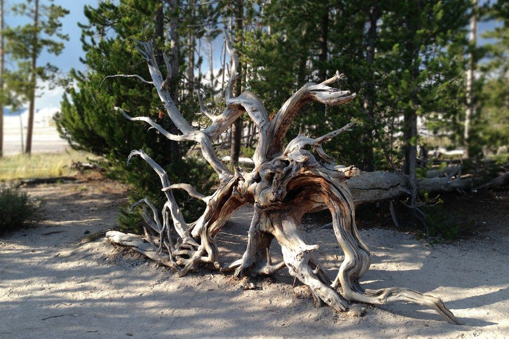 Yellowstone National Park - strange tree