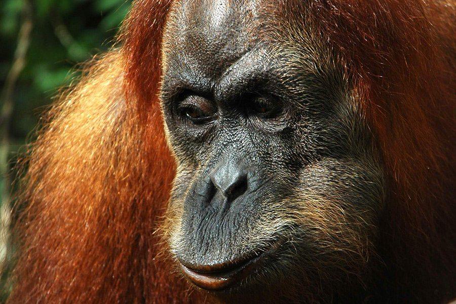 Orangutan-Sumatra