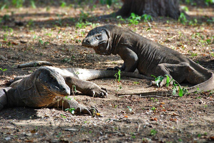 Varany Komodo, Indonézia