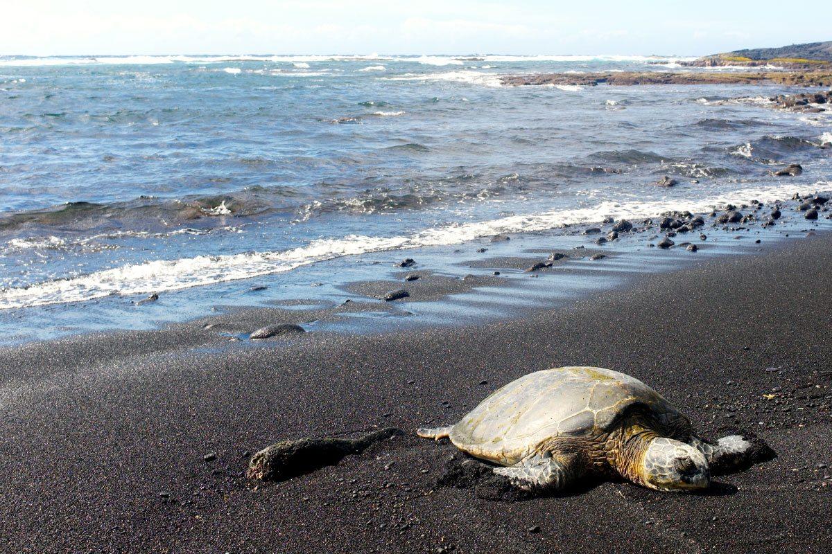 Mikronézia korytnačka