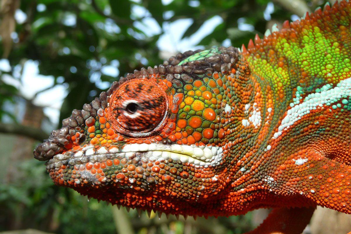 Chameleóny v Afrike
