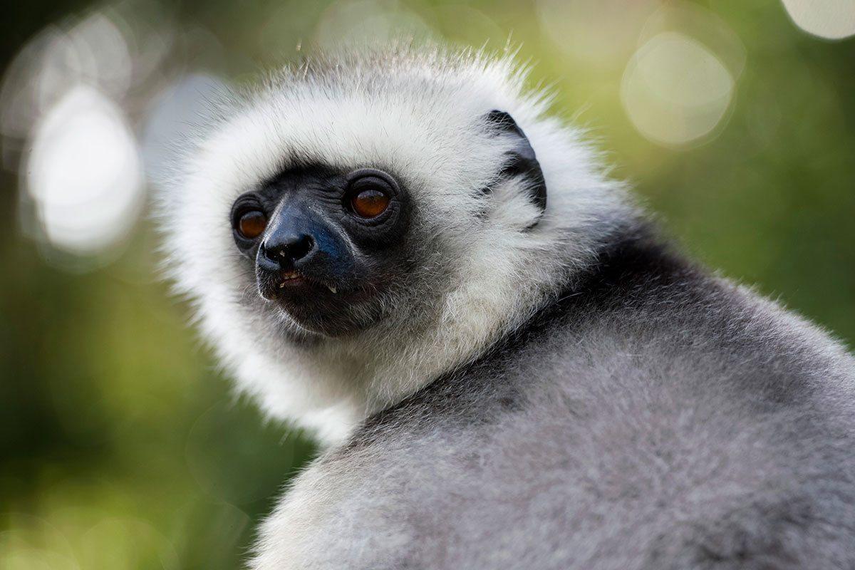 Lemur Sifaka - Madagaskar