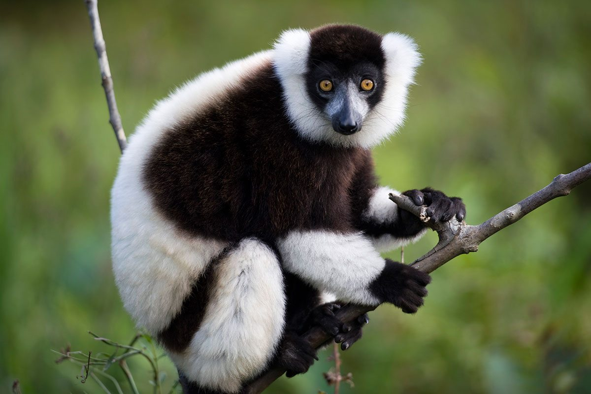 lemur - madagaskar