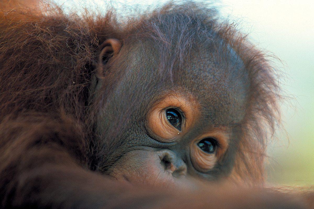 Opička v Borneu