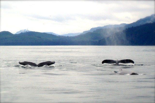 velryby, Aljaška