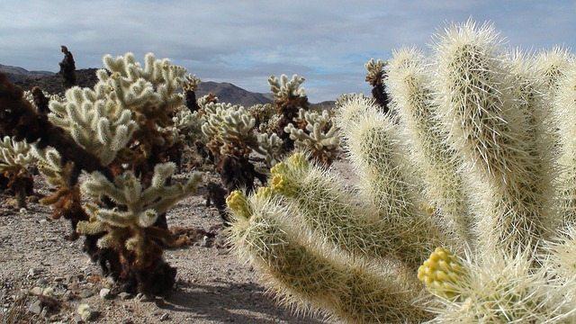 púštny kaktus