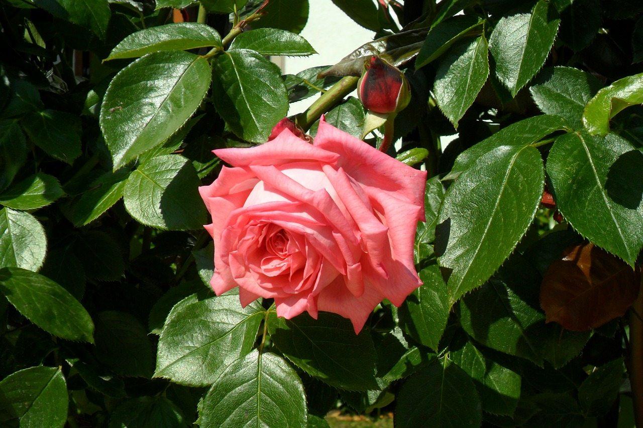 bulharské ruže