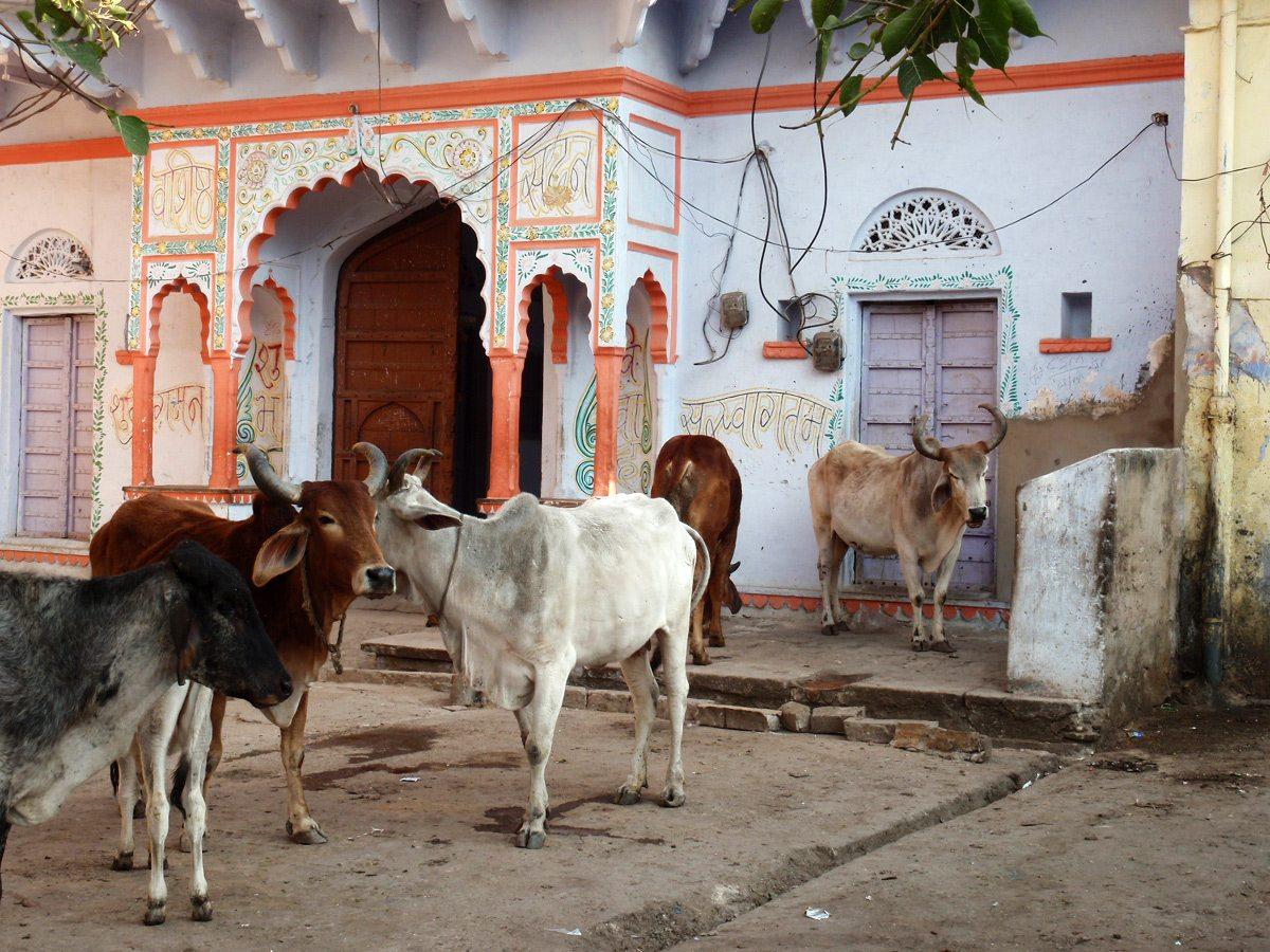 kravy v indii