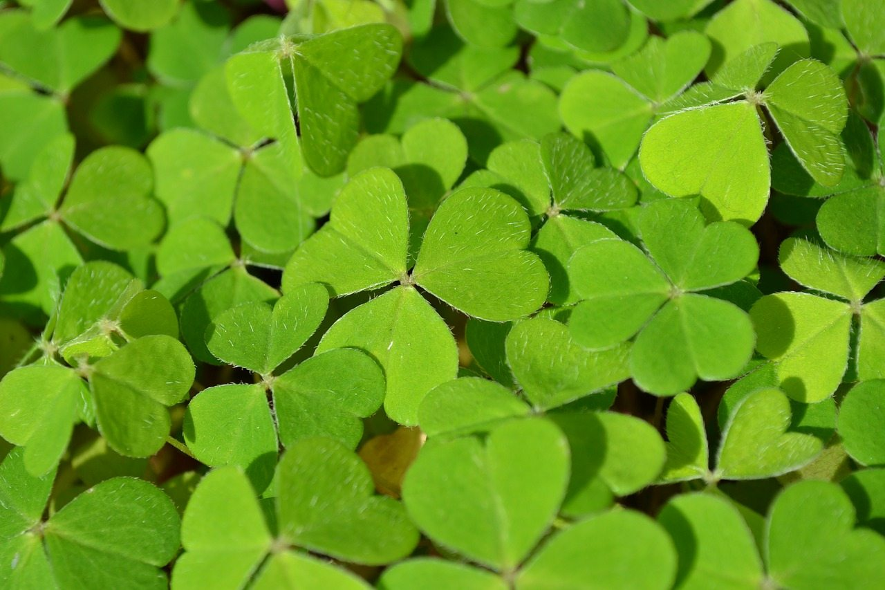 írsko symbol - ďatelina