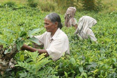srí lanka čajové plantáže