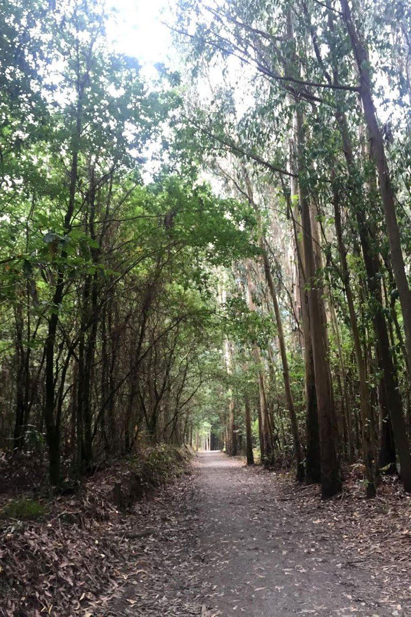 Eukalyptový les