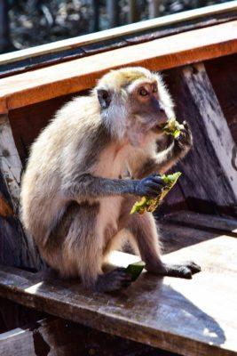 kŕmenie opíc
