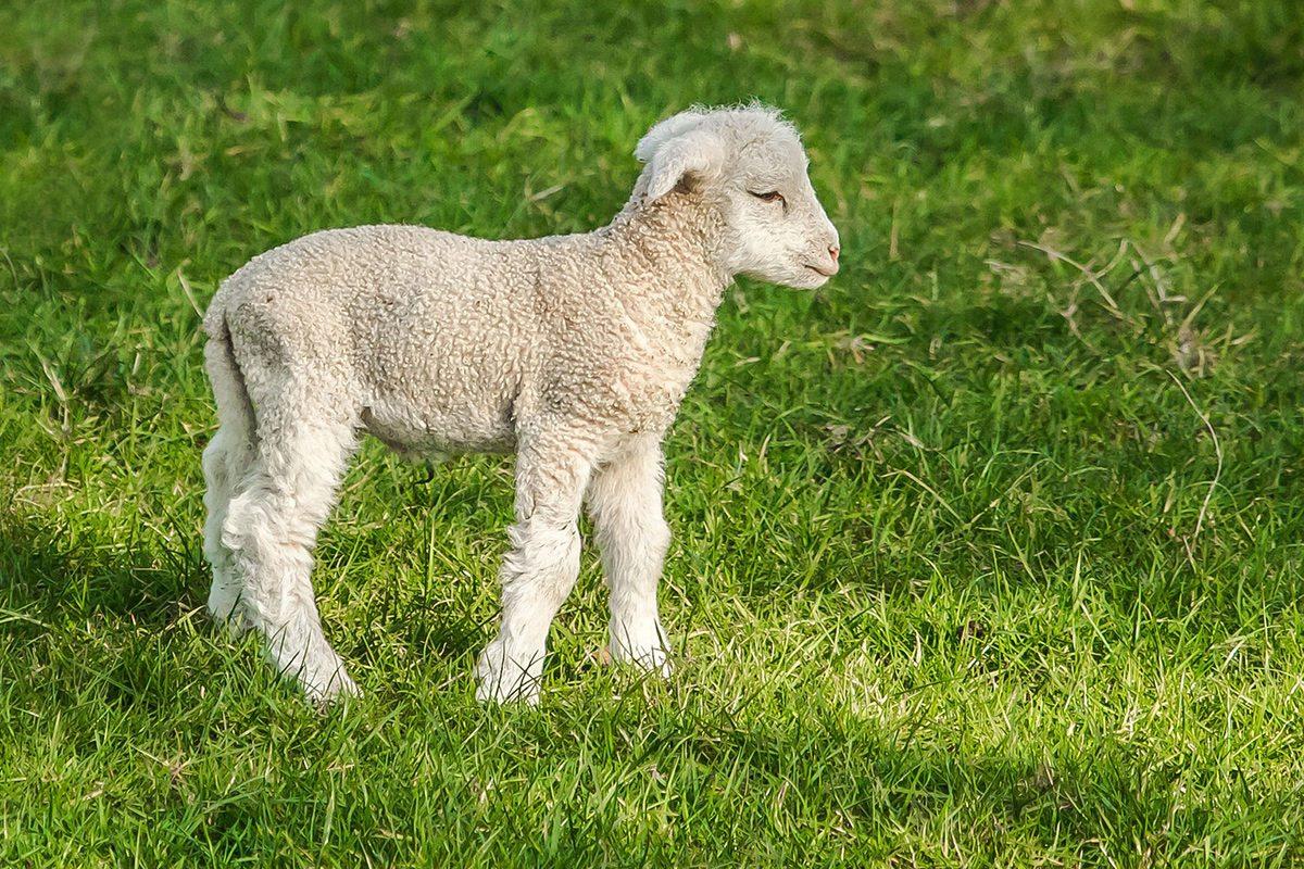 salaš ovečky